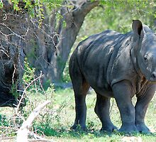 WILL HE MAKE ADULTHOOD - WHITE RHINOCEROS -  Ceratotherium simum - WIT RENOSTER by Magriet Meintjes