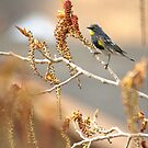 Yellow Rumped Warbler In Spring by Diana Graves Photography