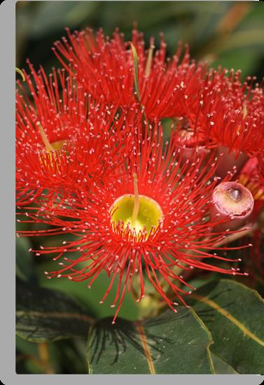 Eucalyptus flowers by Joy Watson