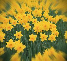 Daffodils by Pat Millar