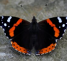 Red Admiral by petemar12