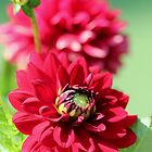 Dahlia named Caproz Jerry Garcia by JMcCombie