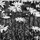Black and White Daisies by mcstory
