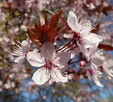 Pink Blossoms by Vicki Spindler (VHS Photography)