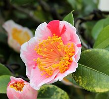 Camellia japonica by Kelly Morris