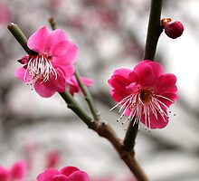 Japanese apricot tree by Kelly Morris