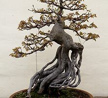Trident maple bonsai by Kelly Morris