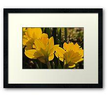 Golden Daffodils Framed Print