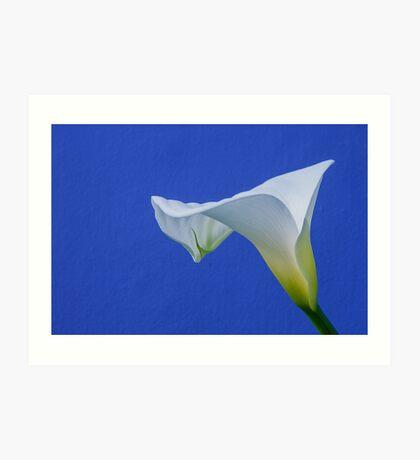 Calla Lily (zantedeschia aethiopica) Art Print
