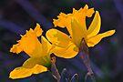 Daffodils in the setting sun.  ( 2 ) by NatureGreeting Cards ©ccwri