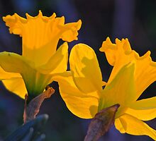 Daffodils in the setting sun. by NatureGreeting Cards ©ccwri