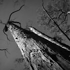 Scary Tree- Mount Lofty by Ben Loveday