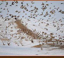 Highest Pheasant Population in the World by ringneckshuntin