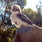 Kookaburra by Yincinerate