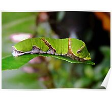 Green Caterpillar ( King Page Swallowtail Butterfly 2nd Stage ) Poster