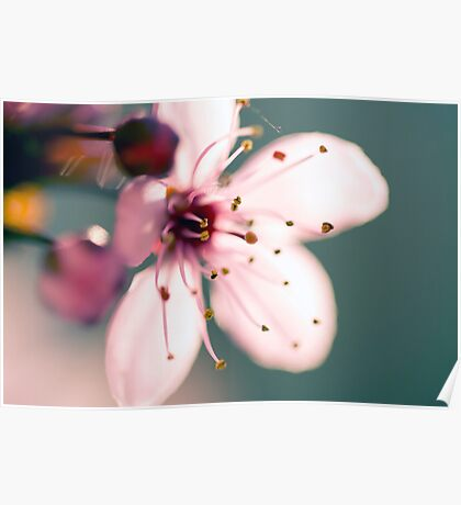 May Blossom at Sunset-2591 Poster
