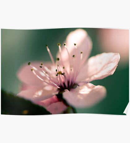 May Blossom at Sunset-2593 Poster