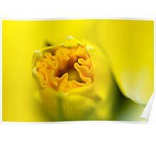 Daffodil-Emerging-2110 Poster