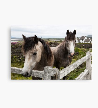 Irish horses Canvas Print
