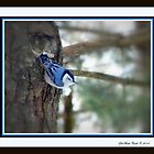White-Breasted Nuthatch, Putting on a Show by Deb  Badt-Covell