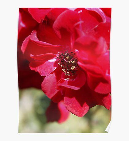 Red Flower Macro Poster