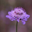 Purple Pincushion Flower by hummingbirds