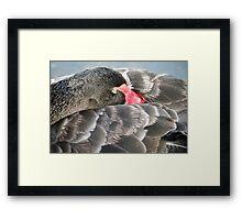 Black Swan Resting. Framed Print
