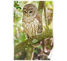 Baard Owl  Poster