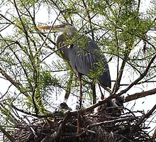 Great Blue Heron and Nestlings by Carol Bailey White
