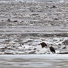 American Bald Eagles on Ice by barnsis
