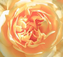 In A Yellow Rose by Diego Re