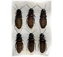 Madagascar Roaches Poster