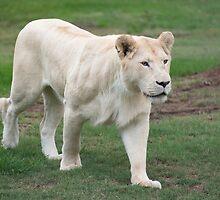 White Lion - Mogo  Zoo by Steve Randall