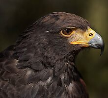 Harris' Hawk by TeresaB