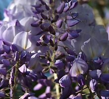 Wisteria The Colour Purple by taiche