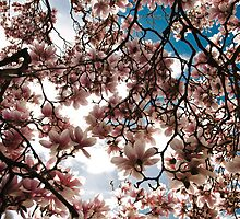 Blooming Magnolia tree in spring by Pixmover