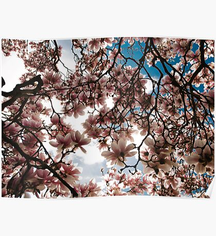 Blooming Magnolia tree in spring Poster