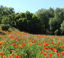 Mantua Poppies #7 by Tehaya