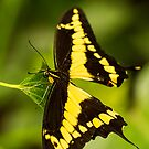 Yellow Swallowtail by Maybrick