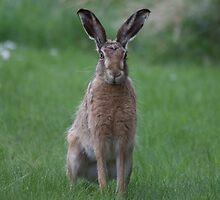 Spring Gardens Hare by beardyrob