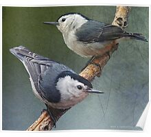 two happy white breasted nuthatches Poster
