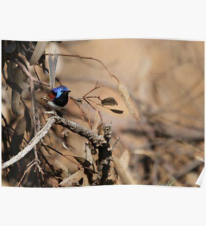 Blue Wren Poster
