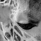 Tears of a giraffe by David Perrin