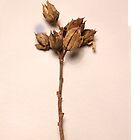 Dried up flower by Therabr