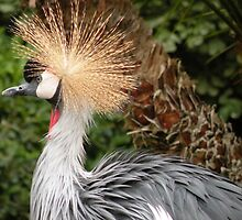 African Crowned Crane by Trish Meyer
