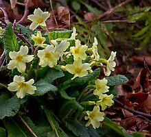 Wild Primroses by Violaman