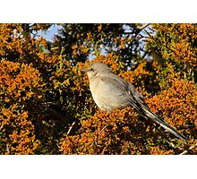 Mockingbird 4 Photographic Print