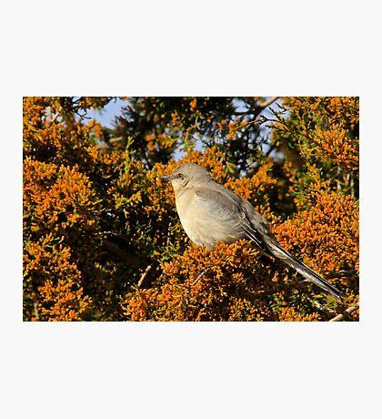 Mockingbird 4 Photographic Print