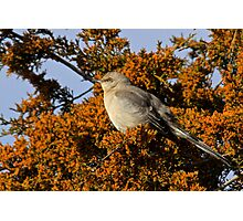 Mockingbird 3 Photographic Print