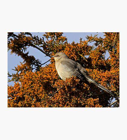 Mockingbird 3 Photographic Print
